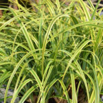 Carex trifida 'Rekohu Sunrise' 2L