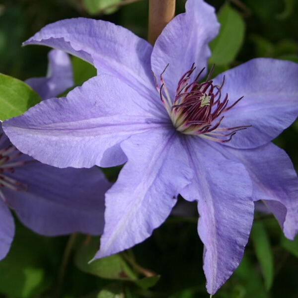 Clematis 'Princess of Wales' 3L