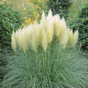 Cortaderia selloana 'White Feather' 3L