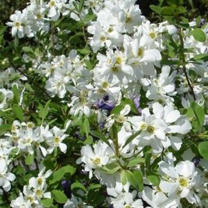 Exochorda racemosa 'Snow Mountain' 10L