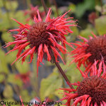 Monarda 'Cambridge Scarlet' 2L