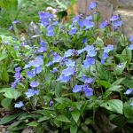 Omphalodes cappadocica 'Cherry Ingram' 2L