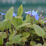 Omphalodes verna 2L
