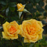 Rosa 'Good as Gold' (Climbing Miniature) 4L