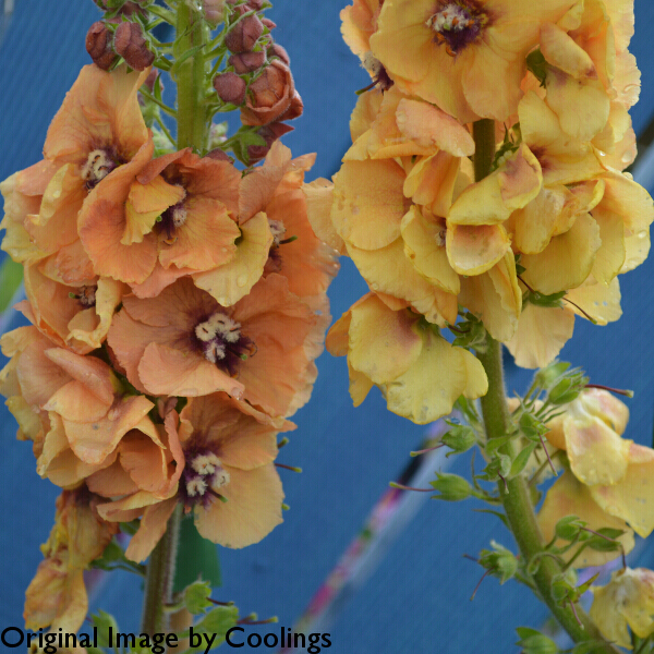Verbascum 'Royal Highland' (Cotswold Group) 2L