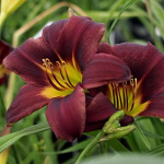 Hemerocallis 'Black Magic' 2L