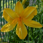 Hemerocallis 'Cartwheels' 2L