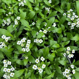 Alyssum White Multi-Pack