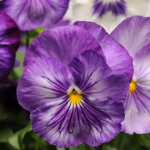 Pansy Lavender Shades Multi-Pack