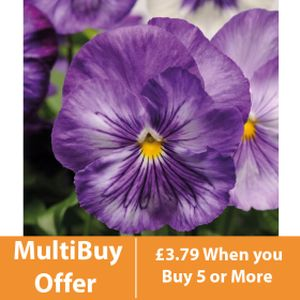 Pansy Daffodil Shades 6 Pack
