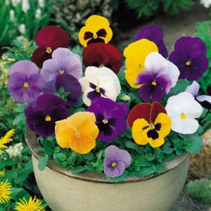 Pansy F1 Mixed Multi-Pack