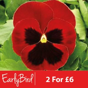 Pansy F1 Red Blotch Multi-Pack