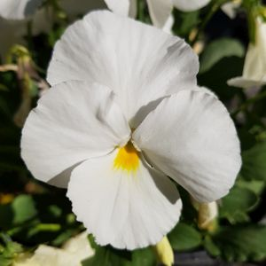 Pansy F1 White Multi-Pack