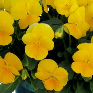 Pansy F1 Yellow Multi-Pack