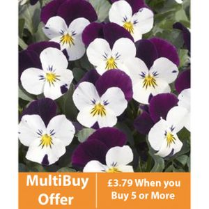 Viola F1 White/Purple Wing 6 Pack