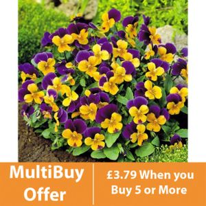 Viola F1 Yellow/Purple Wing 6 Pack