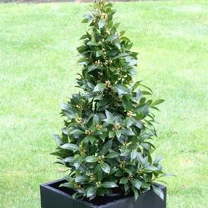Bay Tree Laurus nobilis (AGM) Pyramid