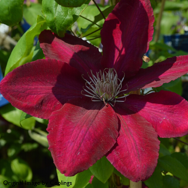 Clematis 'Rebecca' (syn 'Evipo016') 3L