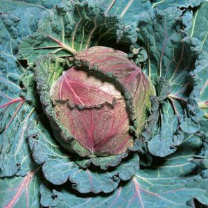 Cabbage Savoy 'January King' Multi-Pack
