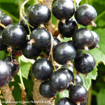 Blackcurrant Ribes 'Ben Lomond' (AGM) 3L