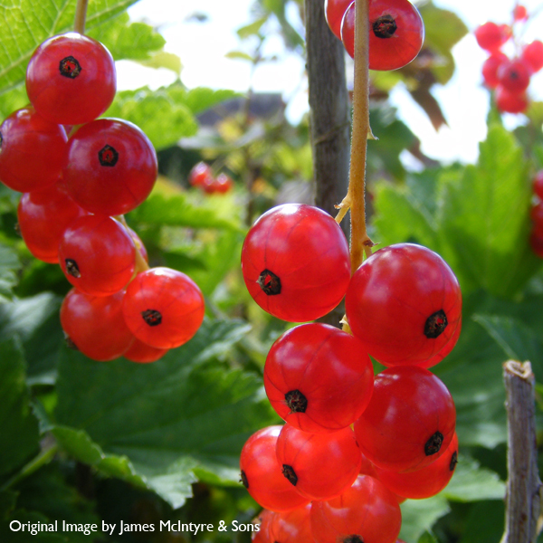 Redcurrant Ribes 'Rovada' 3L