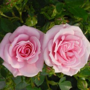 Rosa 'Diamond Wishes' (syn 'Misty Hit') (Patio) 5L