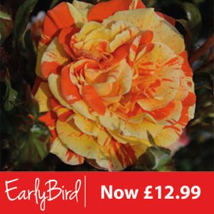Rosa 'Oranges and Lemons' (Floribunda) 5L