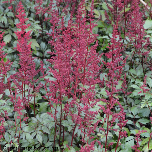 Astilbe x arendsii 'Fanal' 3L
