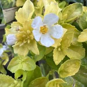 Bacopa Gold 1L