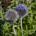 Echinops bannaticus 'Star Frost' 2L