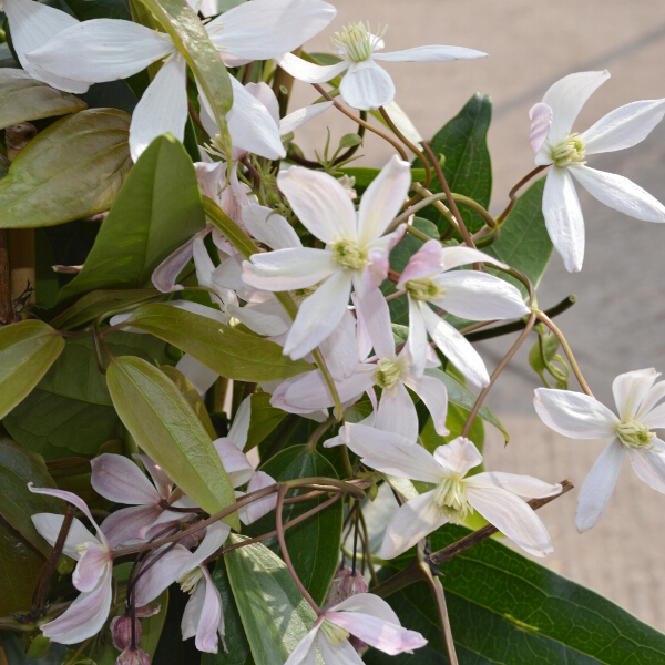 Clematis armandii 'Apple Blossom' (AGM) 2L