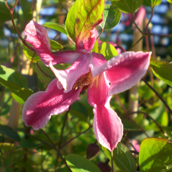Clematis texensis 'Duchess of Albany' 3L