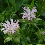Monarda 'Fishes' (syn. 'Pisces') 2L