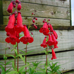 Penstemon 'King George V' 2L