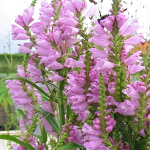 Physostegia speciosa 'Bouquet Rose' 2L