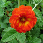 Potentilla 'William Rollison' (AGM) 2L