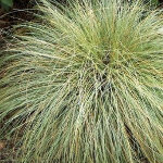 Carex 'Frosted Curls' 2L