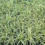 Carex oshimensis 'Evergold' (AGM) 2L