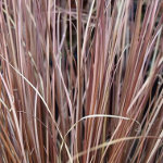 Carex buchananii (AGM) 2L