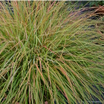Stipa arundinacea (syn. Anemanthele lessoniana) 2L