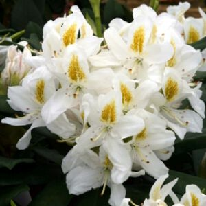Rhododendron 'Madame Masson' (Hybrid) 7L