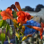 Campsis 'Tropical Summer' 3L