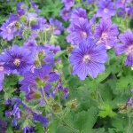 Geranium 'Johnson's Blue' (AGM) 2L