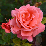 Rosa 'Leaping Salmon' (Climber) 4L