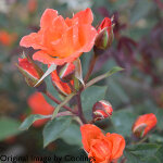 Rosa 'Warm Welcome' (Climbing Miniature) (AGM) 4L