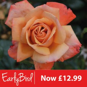 Rosa 'Remember Me' (Hybrid Tea) 5L