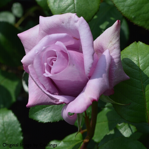Rosa 'Twice in a Blue Moon' (Hybrid Tea) 4L