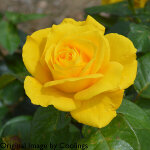 Rosa 'Golden Wedding' (Floribunda) 5L