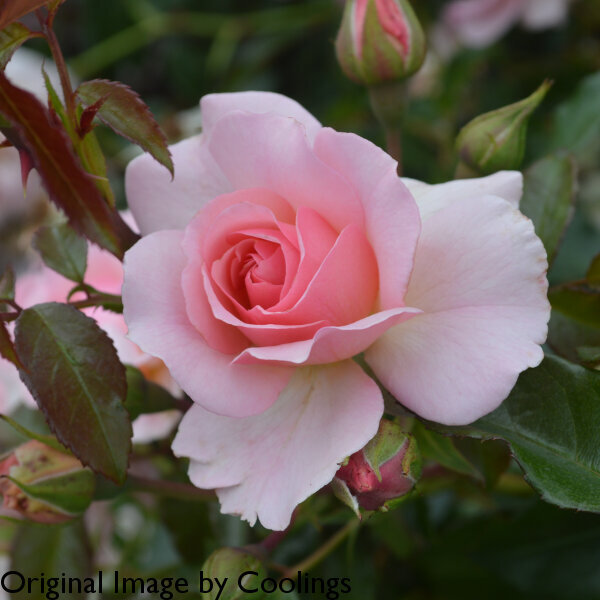 Rosa 'Happy Retirement' (Floribunda) (AGM) 5L