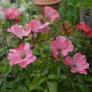 Rosa 'Flower Carpet Coral' (Ground Cover) 5L